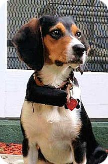 Beagle Dog for adoption in Pittsburgh, Pennsylvania - Pele