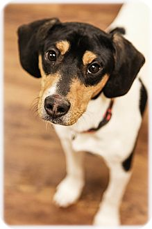 Rat Terrier Mix Dog for adoption in Lake Odessa, Michigan - Rockwell