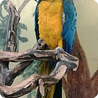 Macaw for adoption in Edgerton, Wisconsin - Max