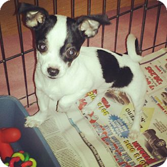 Chihuahua Dog for adoption in LaGrange, Ohio - Squirt