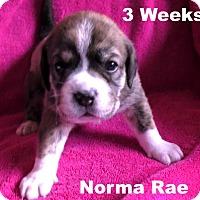 Adopt A Pet :: Jolene's pup F2 - Norma Rae - Tampa, FL