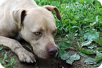 American Pit Bull Terrier Mix Dog for adoption in Columbia, Tennessee - Champagne