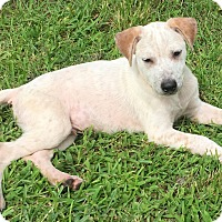 Adopt A Pet :: Ross Calm and Loving - St Petersburg, FL
