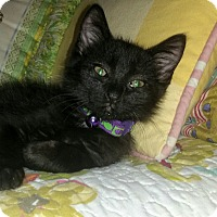 Domestic Shorthair Kitten for adoption in Winterville, North Carolina - SUSHI