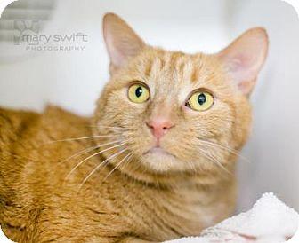 Domestic Shorthair Cat for adoption in Reisterstown, Maryland - Pumpkin Pie