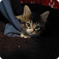 Adopt A Pet :: Miss Kitty - Quincy, CA