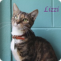 Domestic Shorthair Cat for adoption in Bradenton, Florida - Lizzi