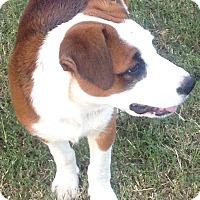 Adopt A Pet :: Rain - Wichita Falls, TX