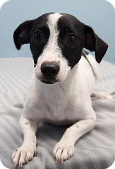 Dachshund Mix Dog for adoption in Jupiter, Florida - Petra