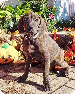 Great Dane/Retriever (Unknown Type) Mix Puppy for adoption in West Chicago, Illinois - Drusi