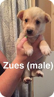 Shepherd (Unknown Type)/Husky Mix Dog for adoption in Olympia, Washington - Zues