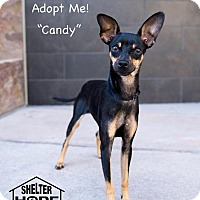 Miniature Pinscher Mix Dog for adoption in Valencia, California - Candy