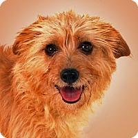 Adopt A Pet :: Cynthia - Prescott, AZ