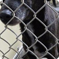 Adopt A Pet :: Sioux - Van Wert, OH