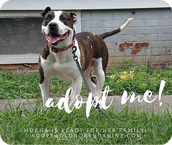 American Staffordshire Terrier Mix Dog for adoption in Burlington, North Carolina - Mocha-adoption pending