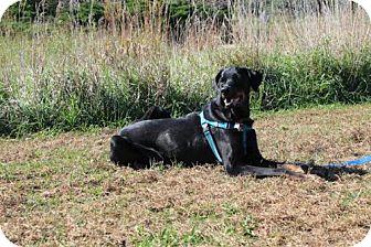 Doberman Pinscher Dog for adoption in Omaha, Nebraska - Dakota