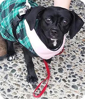 "Dachshund/Chihuahua Mix Dog for adoption in Seattle, Washington - ""Missy Elliott"""