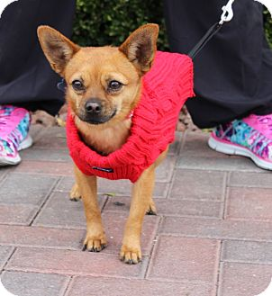 Chihuahua Mix Dog for adoption in Las Vegas, Nevada - DAVEY