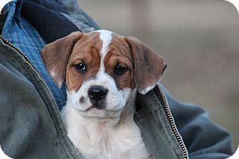 Boxer Mix Puppy for adoption in Glastonbury, Connecticut - Petra