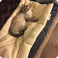 Siamese Cat for adoption in Charlotte, North Carolina - Sylo