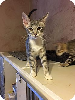 Domestic Shorthair Kitten for adoption in Fort Worth, Texas - Marvin