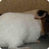 Adopt A Pet :: *Urgent* Cottonball - Fullerton, CA