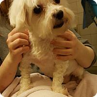Adopt A Pet :: Everest Miller - Urbana, OH