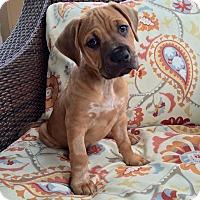 Adopt A Pet :: Gummy Bear - Jacksonville, FL