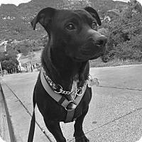 Adopt A Pet :: Puma - Los Angeles, CA