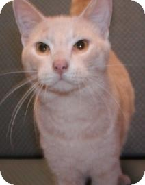Domestic Shorthair Cat for adoption in Jackson, Michigan - Colby