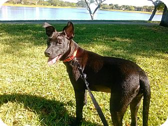 Staffordshire Bull Terrier/Shepherd (Unknown Type) Mix Puppy for adoption in Miami, Florida - Millie