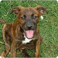 Adopt A Pet :: Cora - Arlington, TX