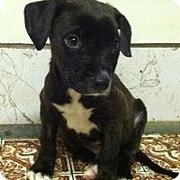 Adopt A Pet :: Dexter - Seattle, WA