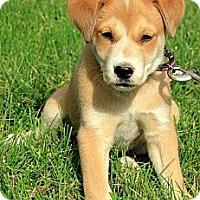 Adopt A Pet :: Logan - Brattleboro, VT