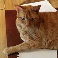 Adopt A Pet :: Bon Bon - Merrifield, VA