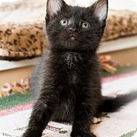 Adopt A Pet :: Nightingale - Chicago, IL