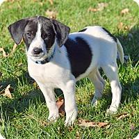 Adopt A Pet :: Batata - Pleasant Plain, OH