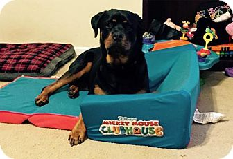 Rottweiler Dog for adoption in White Hall, Arkansas - Roxie (Independent Adoption)