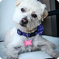 Adopt A Pet :: Higgins is well behaved! - Redondo Beach, CA