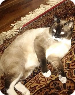 Snowshoe Cat for adoption in New York, New York - Parker