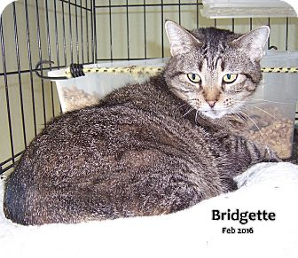 Domestic Shorthair Cat for adoption in Oklahoma City, Oklahoma - Bridgette