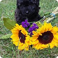 Adopt A Pet :: Onyx - Lake Odessa, MI