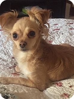 Pomeranian/Chihuahua Mix Dog for adoption in Vacaville, California - Tippy