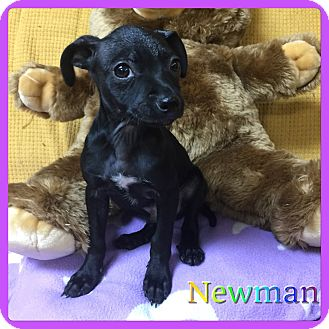 Chihuahua/Miniature Pinscher Mix Puppy for adoption in Hollywood, Florida - Newman
