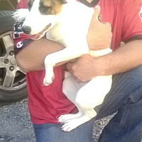 Beagle/Jack Russell Terrier Mix Puppy for adoption in Staunton, Virginia - Caitlynn