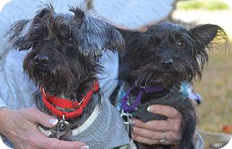 Schnauzer (Miniature)/Yorkie, Yorkshire Terrier Mix Dog for adoption in Cranford, New Jersey - Camilla