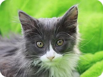 Domestic Longhair Kitten for adoption in Cookeville, Tennessee - Pom Pom