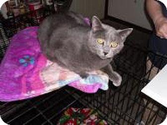 Domestic Shorthair Cat for adoption in Sedalia, Missouri - Aric
