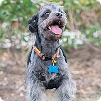 Adopt A Pet :: Dandy - boston, MA