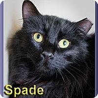 Adopt A Pet :: Spade - Aldie, VA